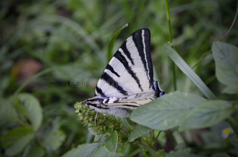 Papillon rayé blanc se reposant sur l'herbe verte Le machaon rare, podalirius d'Iphiclides est un papillon, famille images stock