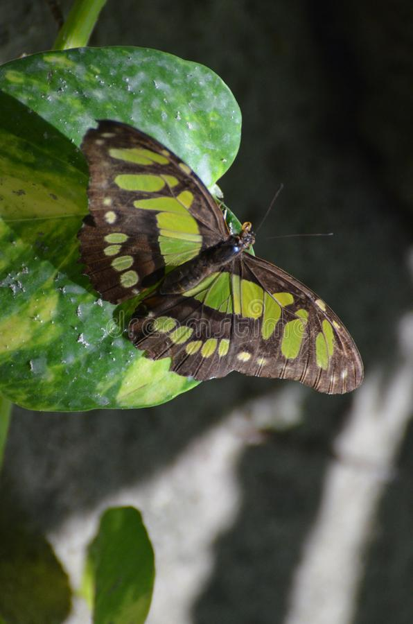 Papillon renversant de malachite se cachant dans la nuance photo stock