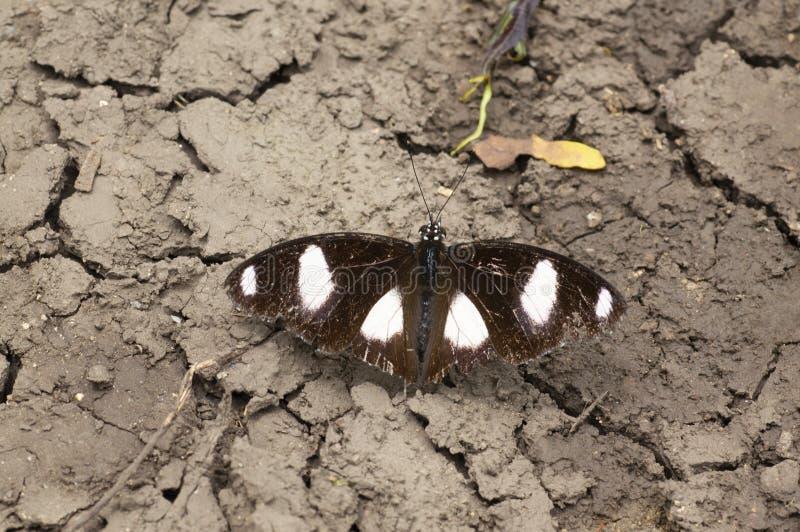 Papillon repéré noir et blanc près de Pune, maharashtra, Inde images libres de droits