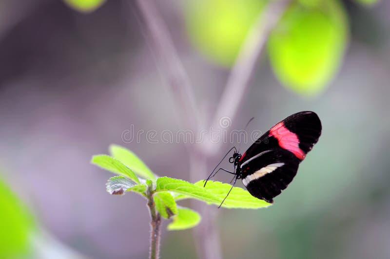 Papillon rouge de facteur (Heliconius) photo libre de droits