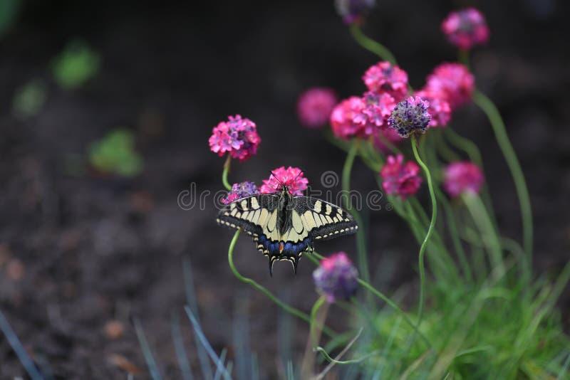 Papillon rouge Mahaon de livre se reposant sur la fleur de l'Armeria photographie stock libre de droits