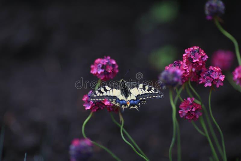 Papillon rouge Mahaon de livre se reposant sur la fleur de l'Armeria photos stock