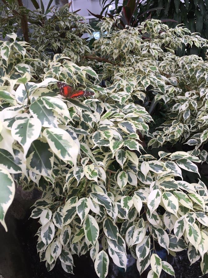 papillon rouge sur des feuilles images stock