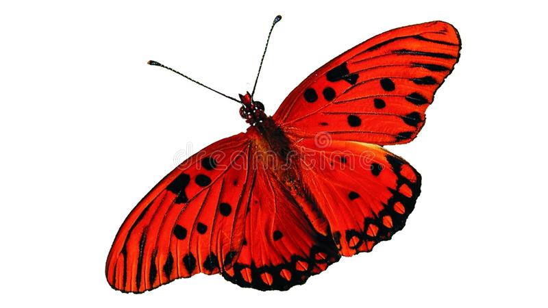 Papillon rouge sur fond blanc isolé photo stock