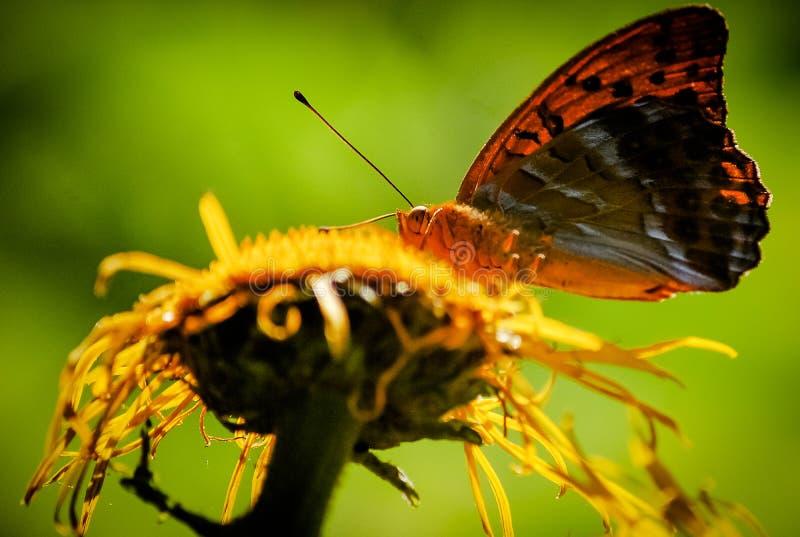 Papillon rouge sur une fleur sauvage jaune sur un plan rapproché vert de fond naturel image libre de droits