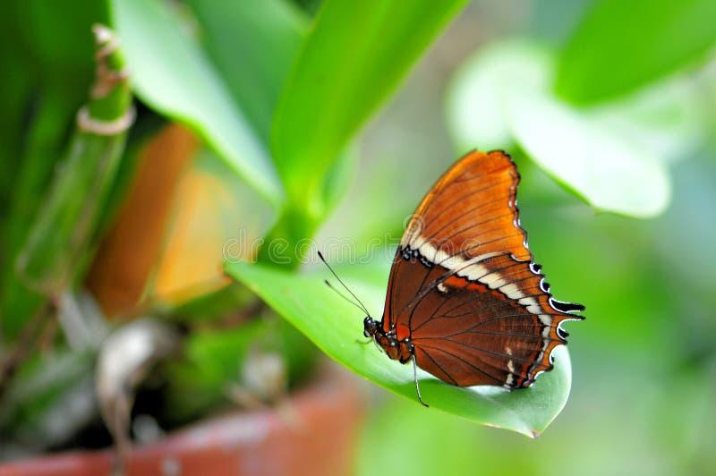 papillon Rouillé-incliné de page dans la volière image stock