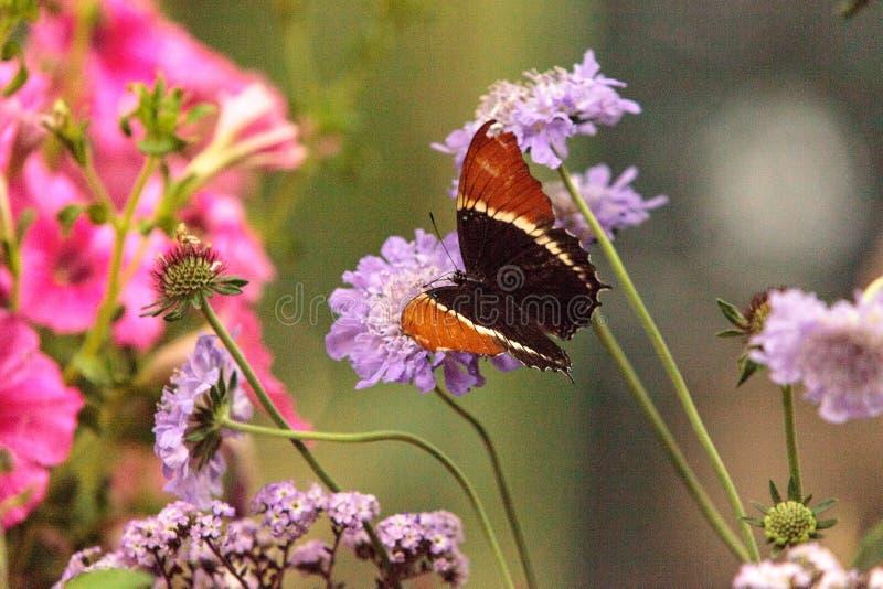 papillon Rouillé-incliné de page, epaphus de Siproeta photographie stock