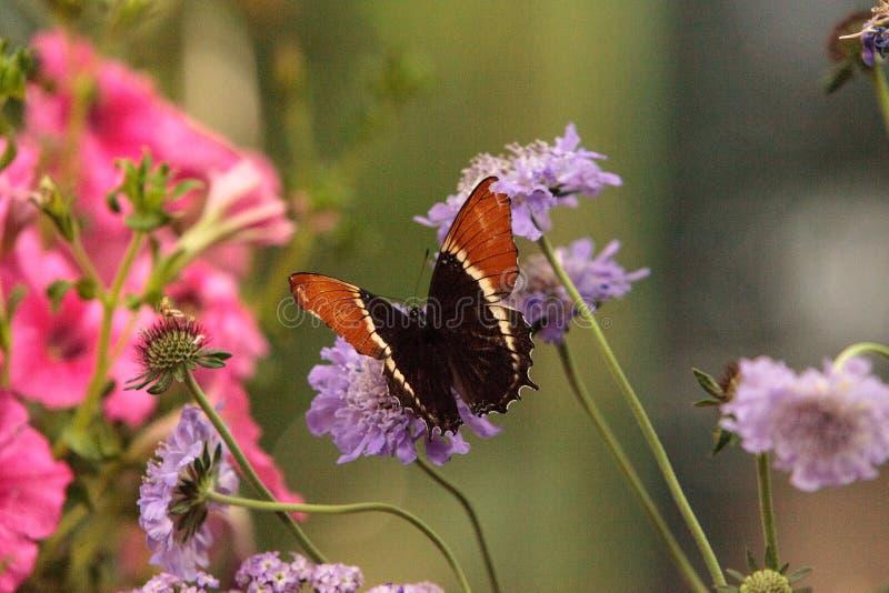 papillon Rouillé-incliné de page, epaphus de Siproeta photo libre de droits