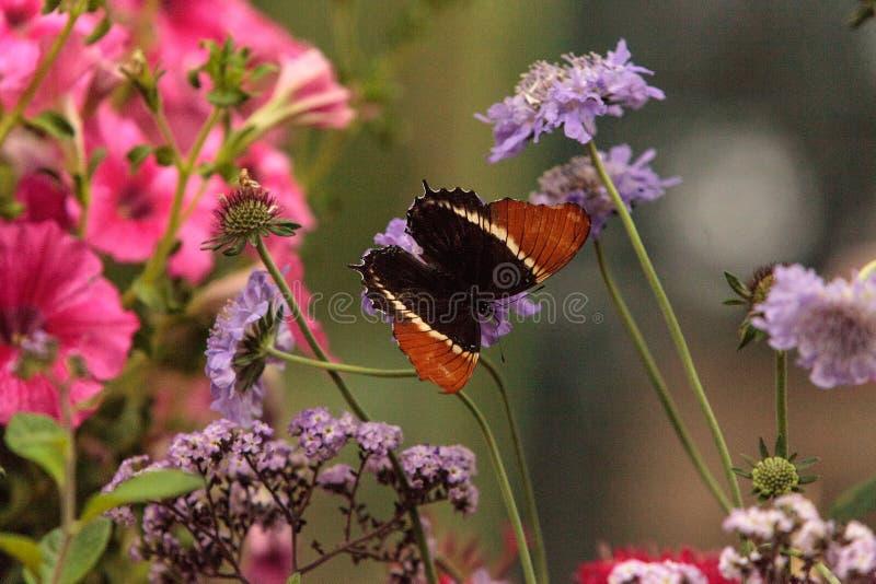 papillon Rouillé-incliné de page, epaphus de Siproeta photos libres de droits