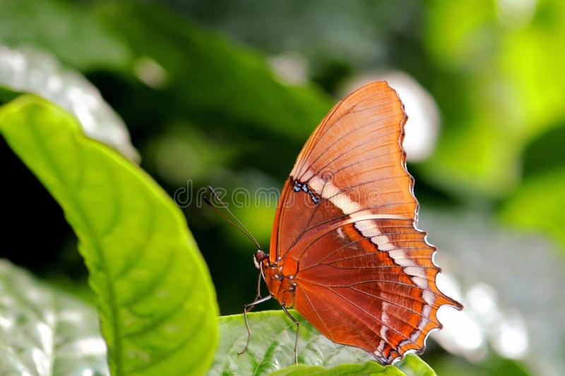 papillon Rouillé-incliné de page, la Floride photographie stock