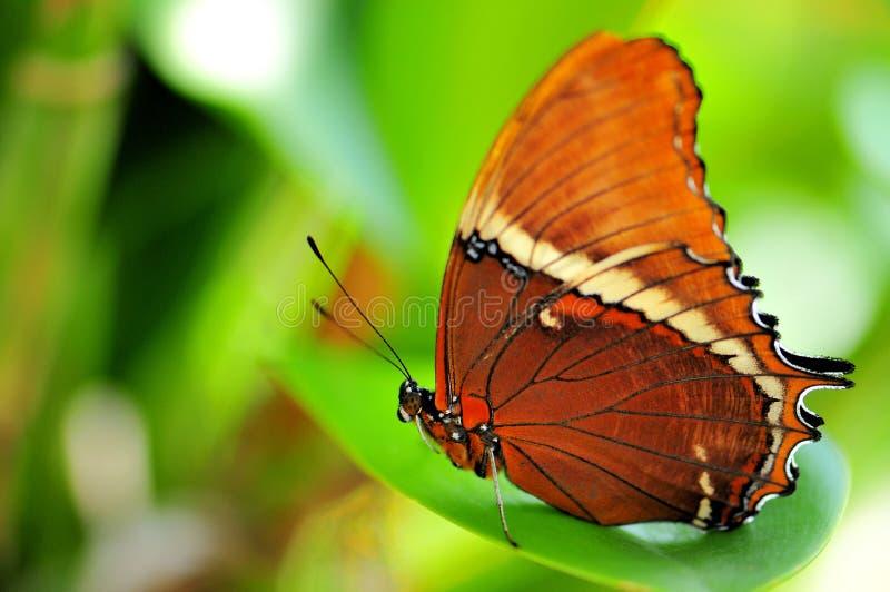 papillon Rouillé-incliné de page sur la feuille photographie stock