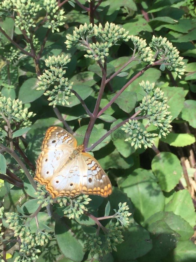 Papillon simple image libre de droits