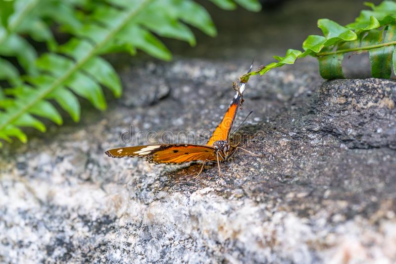 Papillon simple de tigre se reposant sur une roche, entourage de fougères images libres de droits