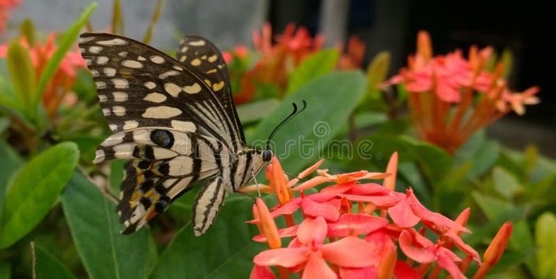 Papillon sirotant sur un Santan photo libre de droits