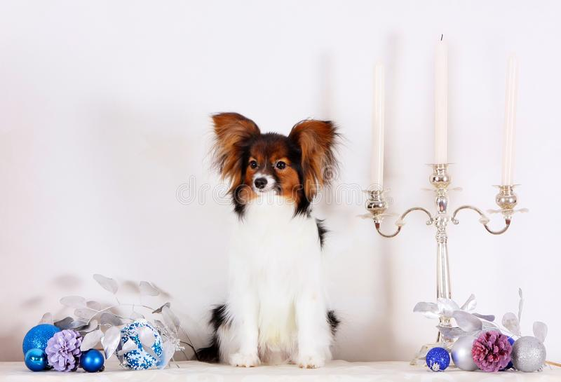 Papillon sits with Christmas decorations. A small white puppy with a red head on a light background. stock images