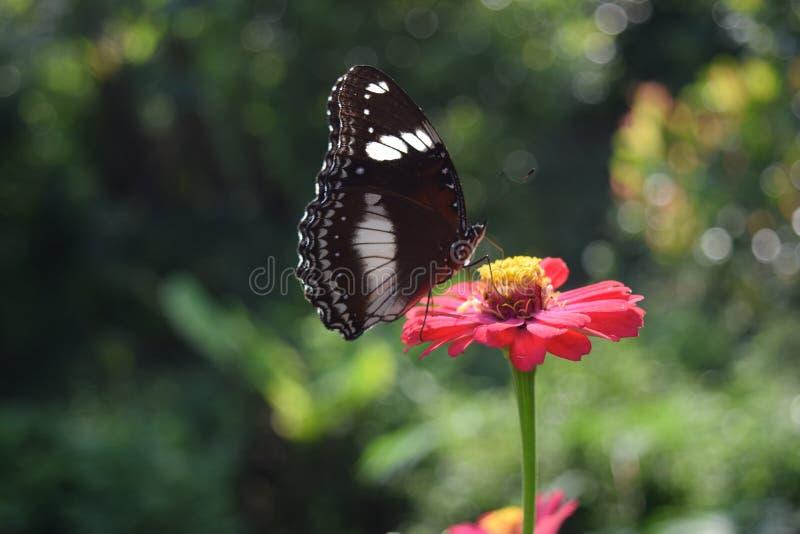 Papillon suçant le miel sur des fleurs photographie stock