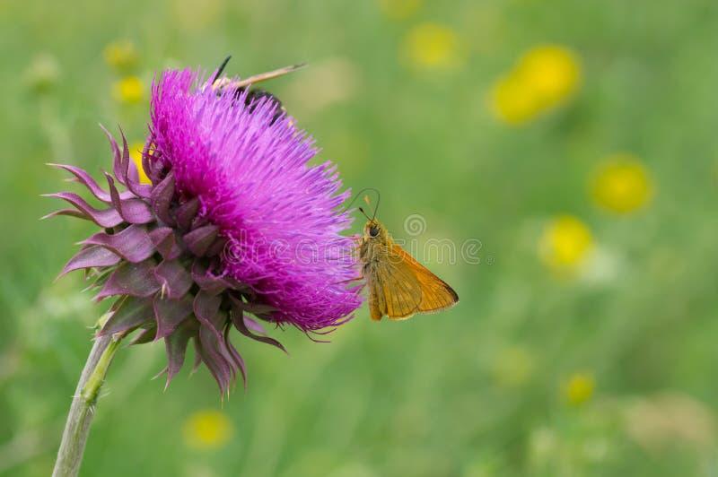 Papillon suçant le nectar hors de la grande fleur de chardon photos stock