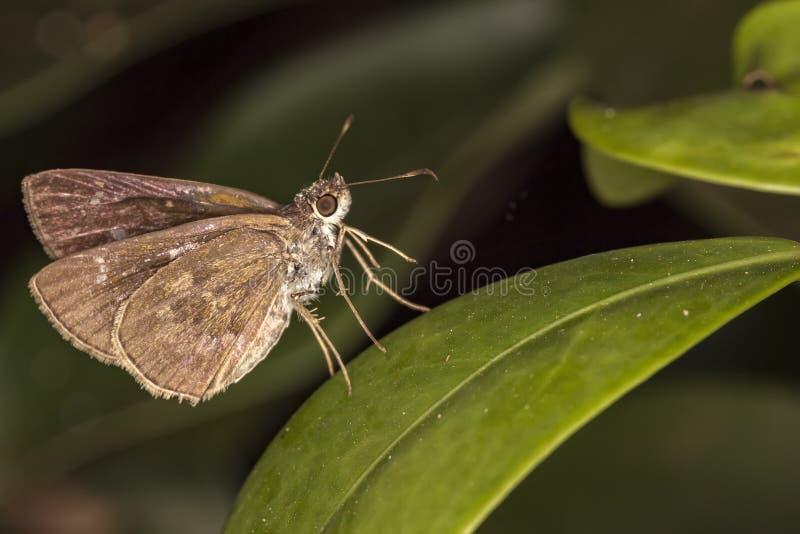 Papillon sur de feuille d'extrémité de fin la macro photo - du papillon sur la feuille photographie stock libre de droits