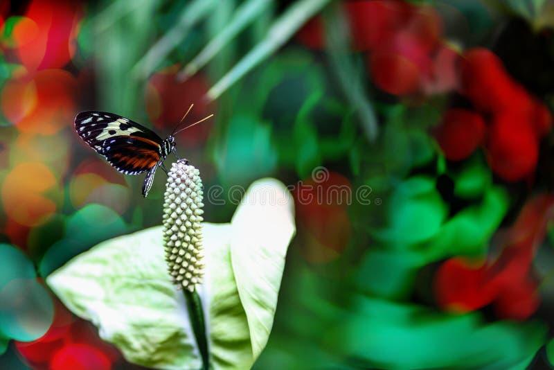 Papillon sur la calla Lily Flower With Copy Space photographie stock
