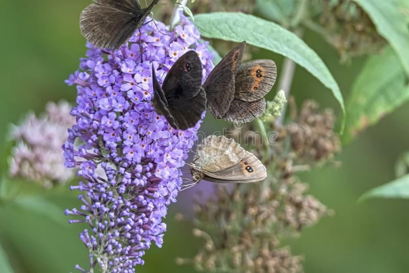 Papillon sur la fleur images stock