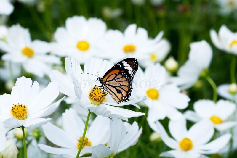 Papillon sur la fleur blanche de cosmos dans la nature photos libres de droits