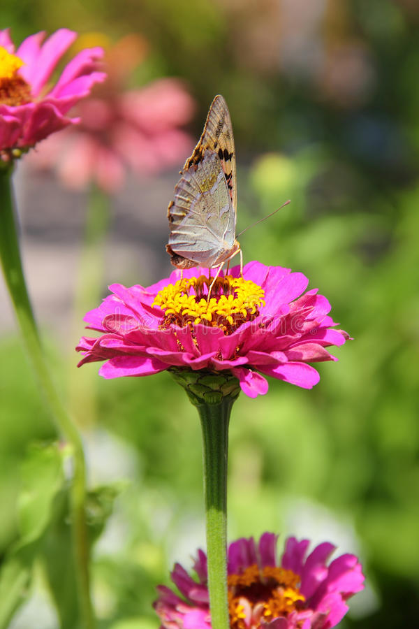 Papillon sur la fleur de zinnia photographie stock libre de droits