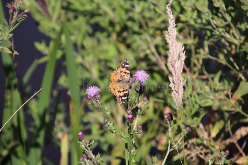 Papillon sur la fleur pourpre de l'usine de chardon dans le hitland de parc aux Pays-Bas image libre de droits