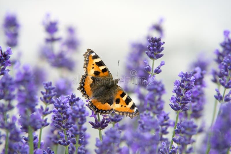 Papillon sur la lavande photo stock