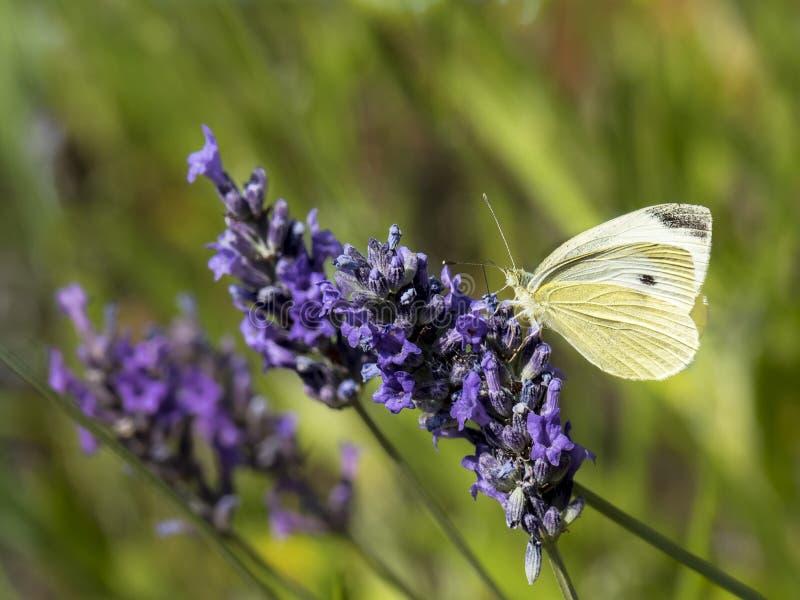 Papillon sur la lavande images stock