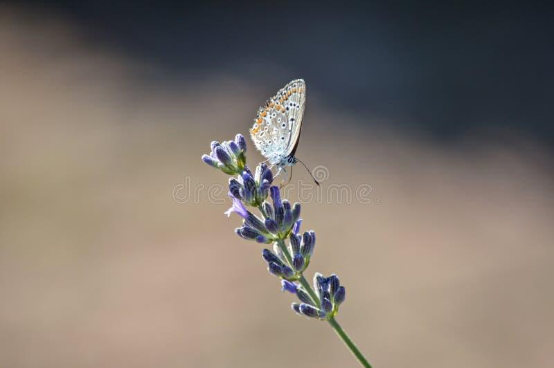 Papillon sur la lavande pourpre images stock