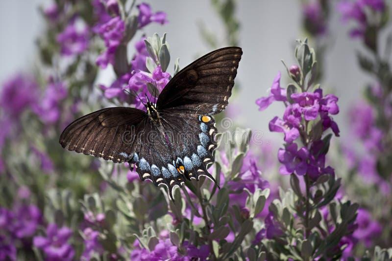 Papillon sur la sauge photo libre de droits