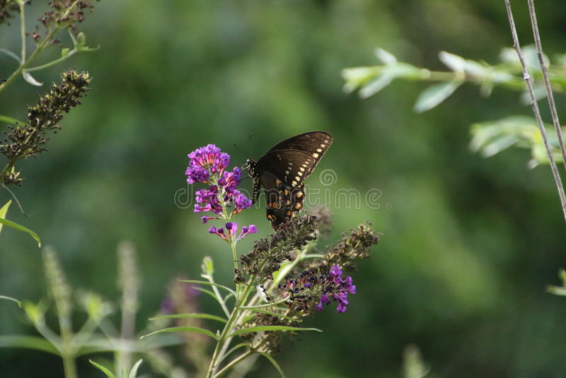 Papillon sur le buisson de papillon pourpre photo stock