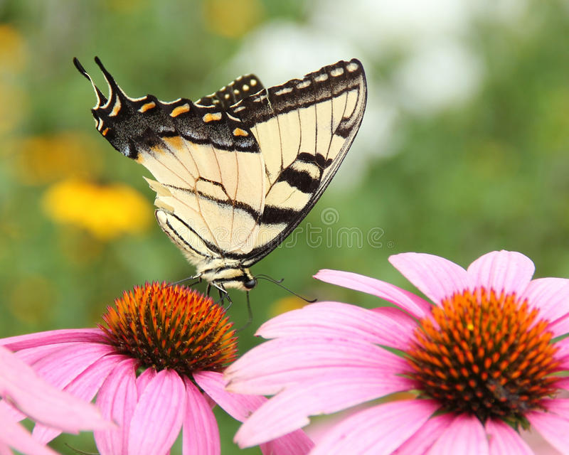 Papillon sur le coneflower pourpre photographie stock
