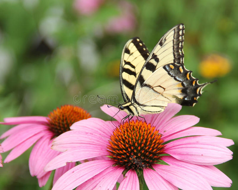 Papillon sur le coneflower pourpre images stock