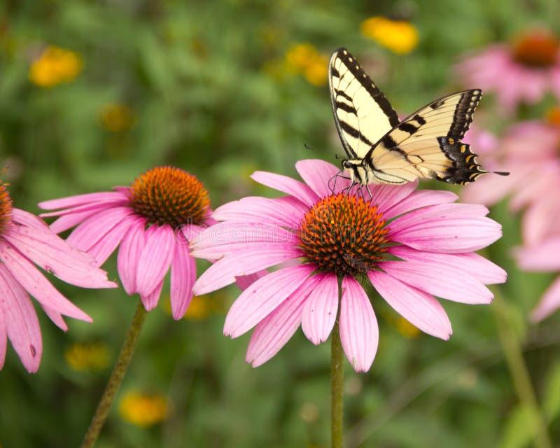 Papillon sur le coneflower pourpre images libres de droits