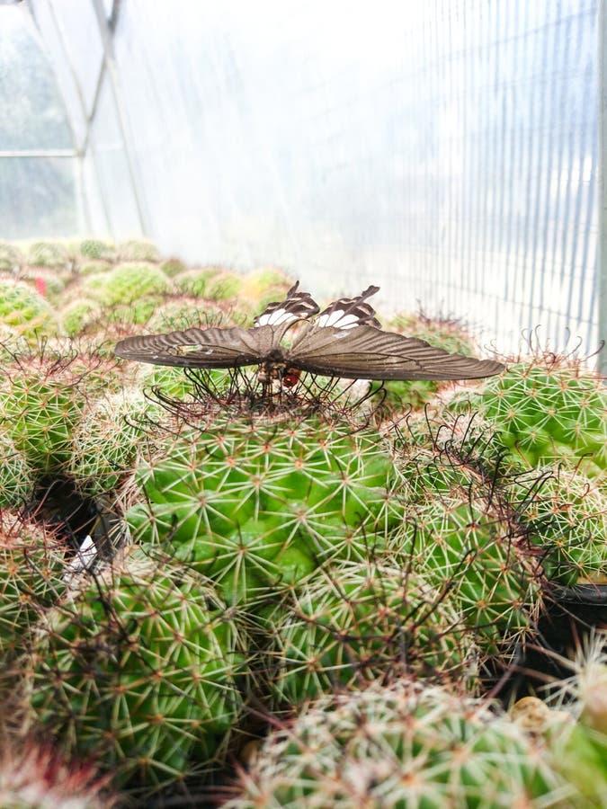 Papillon sur le variegata de Beneckei de Mammillaria de cactus images stock