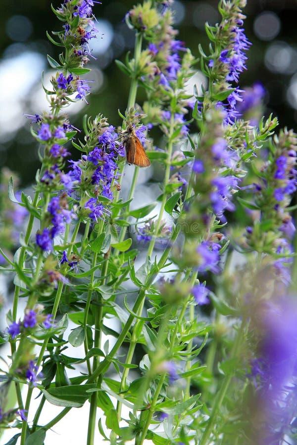 Papillon sur les fleurs bleues du Hyssopus photo stock