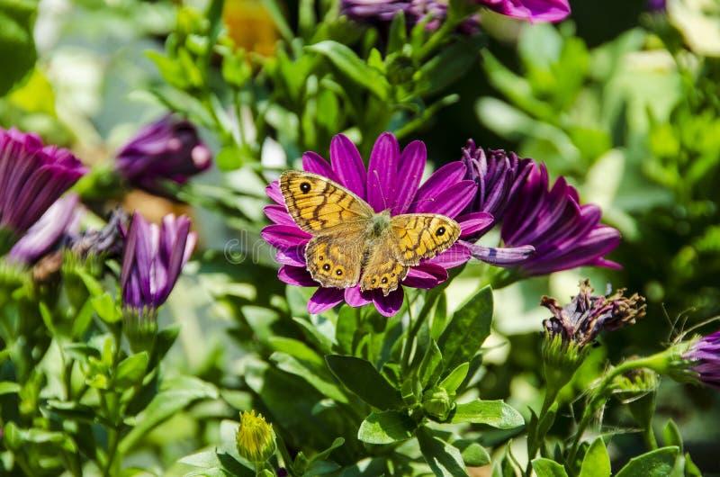 Papillon sur les fleurs violettes photos libres de droits