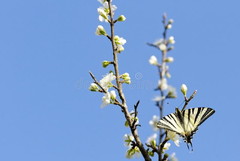 Papillon sur un arbre de floraison photos stock