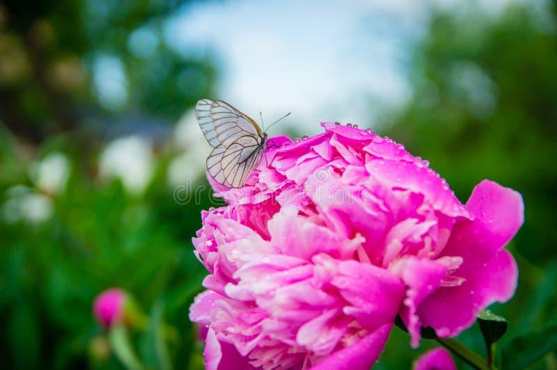 Papillon sur une belle fleur après pluie en été photo stock