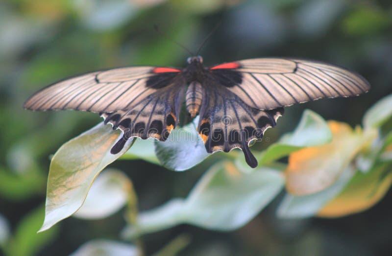 Papillon sur une feuille sur un fond vert photographie stock