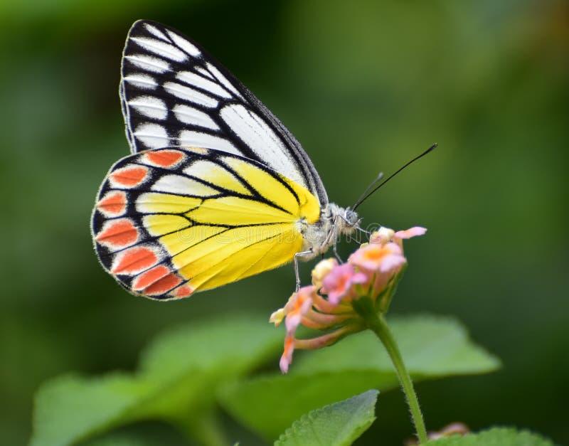 Papillon sur une fleur images libres de droits