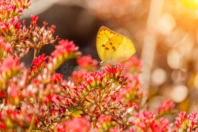 Papillon sur une fleur dans le soleil de matin images stock