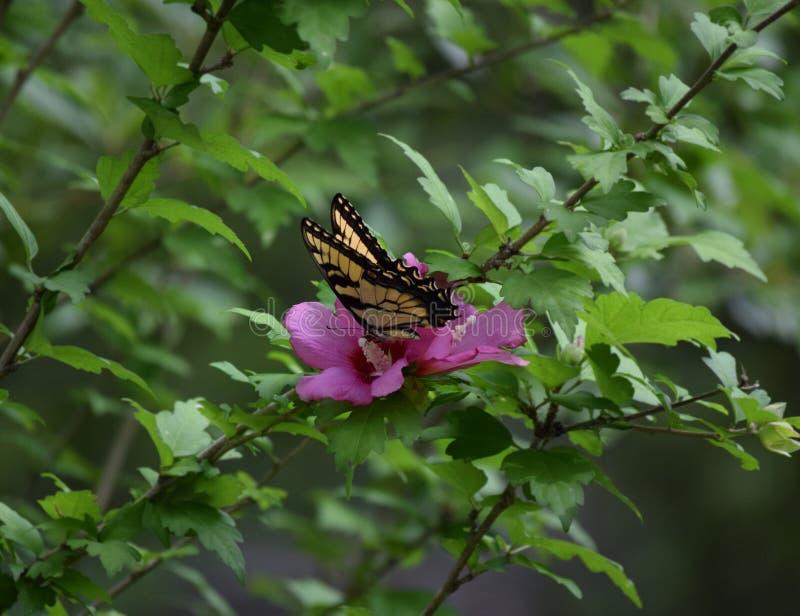 Papillon sur une fleur rose images libres de droits