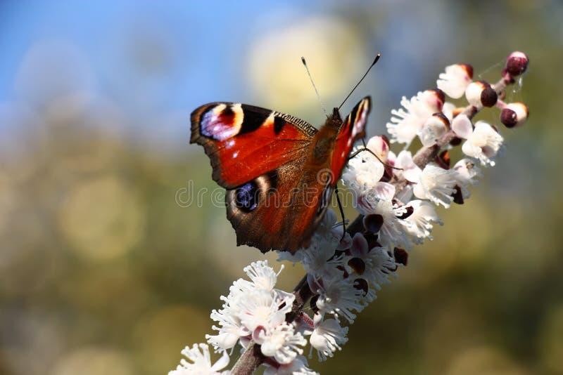 Papillon sur une inflorescence de cimicifuga image libre de droits