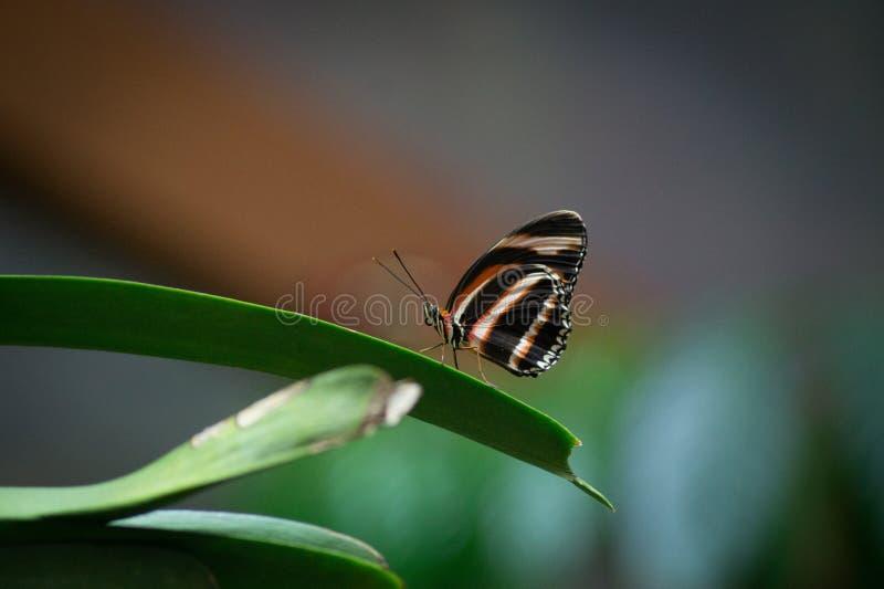 Papillon sur une lame d'herbe photographie stock libre de droits