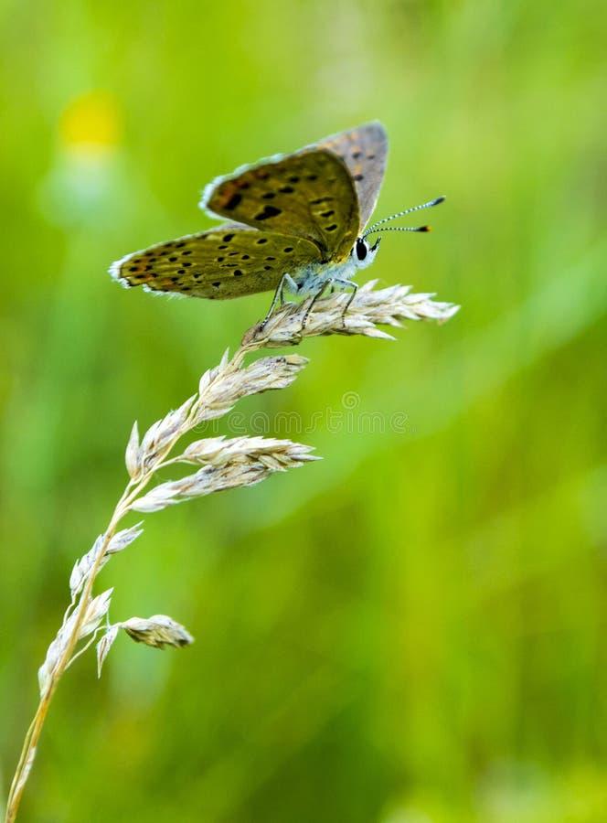 Papillon sur une lame d'herbe images stock