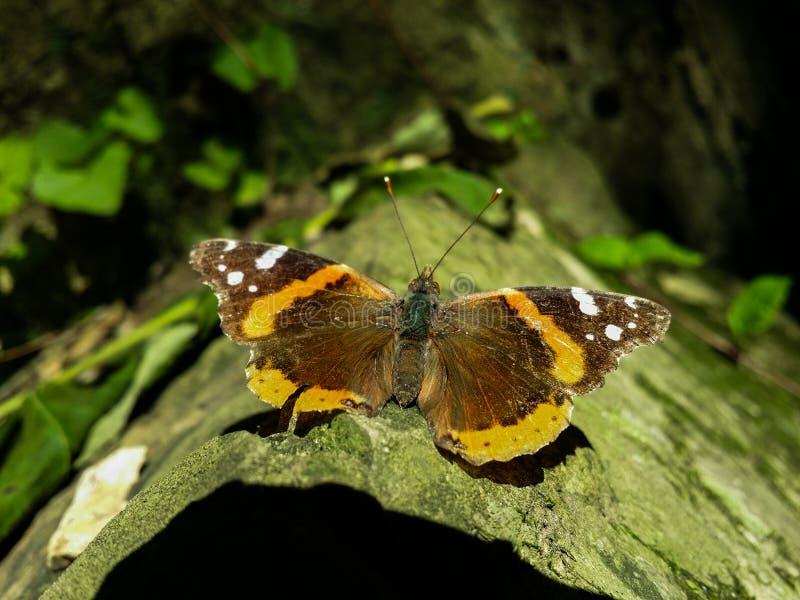 Papillon sur une roche images libres de droits