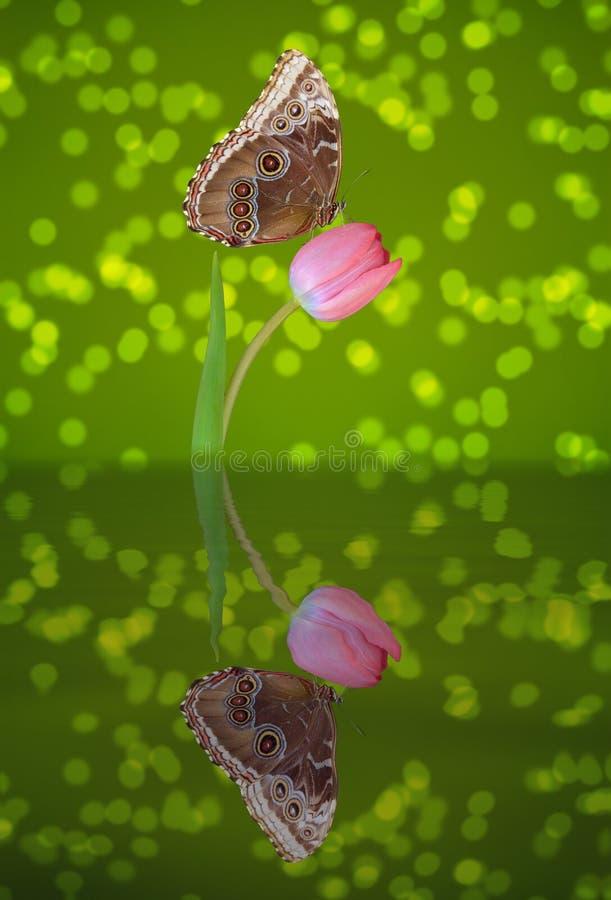 Papillon sur une tulipe rose image stock