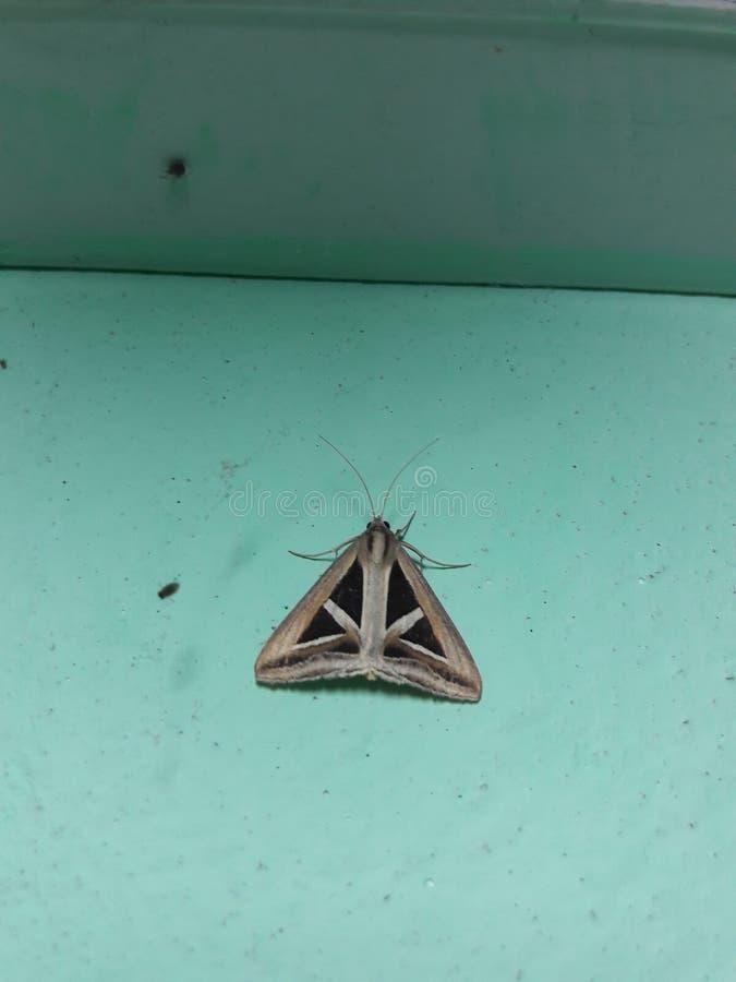 Papillon triangulaire images libres de droits